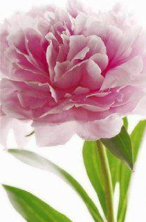 1art1 40545 Blumen   Rosa Pfingstrose Fototapete Poster Tapete (175 x 115 cm) Baumarkt
