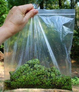 Live Duckweed ~ 150 + Starter Kit ~ Grown Indoors ~ Fish Poultry Food  Aquatic Plants  Patio, Lawn & Garden