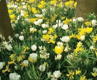 Item# 10156   (20 Bulbs) Sun & Moon Garden   Unique Flower Mix   Flower Garden     FALL PLANTING   SPRING FLOWERS    Flowering Bulbs Include: Yellow Tulips, Daffodils, and Crocus combined with White Tulips, Dutch Iris and Glory of the Snow will provide