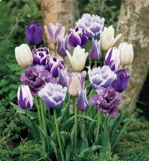 Item# 11728   (18 Bulbs) Purple Passion Blend   Unique Flower Mix   Purple Flower Garden     FALL PLANTING   SPRING FLOWERS    Flowering Bulbs Include: Our bulb specialists have composed a mix of our best purple tulips and white tulips! This mix will bloom