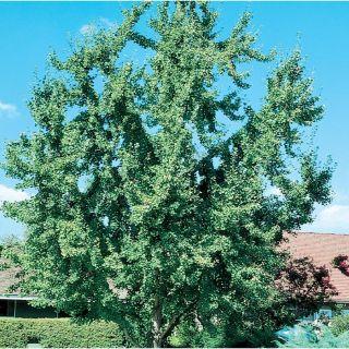 3.58 Gallon Ginkgo Shade Tree (L1045)